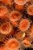 Zoanthid Anemones