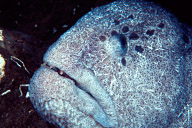 Wolf Eel