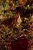 Mosshead Warbonnet