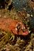 Longfin Sculpin
