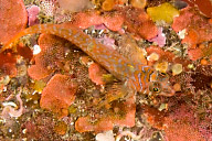 Longfin Sculpin
