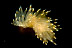 Janolus fuscus Nudibranch