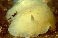 Giant White Dorid Nudibranch