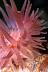 Crimson Anemone