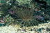 Tube Anemone