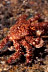 Red Fur Crab