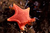 Vermillion Sea Star