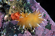 Gold Dirona Nudibranch
