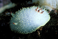 Nanaimo Dorid Nudibranch