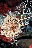 Awakening Basket Star