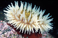 Urticina Anemone