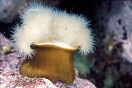 Metridium Anemone
