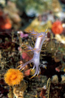 White Dendronotid Nudibranch