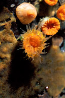 Tubastrea Coral