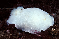 White Dorid Nudibranch