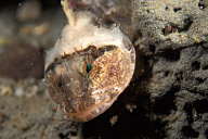 Tidepool Sculpin