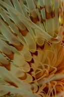 Tube Anemone Detail