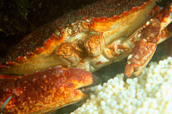 Crab Dining on Ling Cod Eggs
