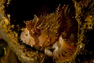 Mosshead Warbonnet