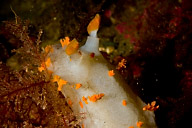 Clown Nudibranch