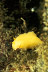 Sea Lemon Nudibranch