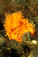 Retracted Vermillion Sea Cucumber