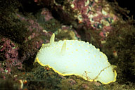 Yellow Margin Dorid Nudibranch