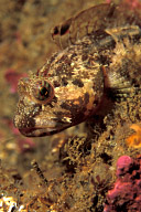 Sculpin